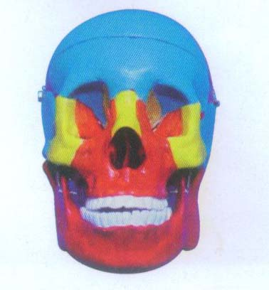 显示脑颅骨和面颅骨结构