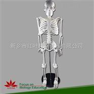 带脊神经 人体骨骼骨架模型 85cm 骨骼模型 医用美术专业标准