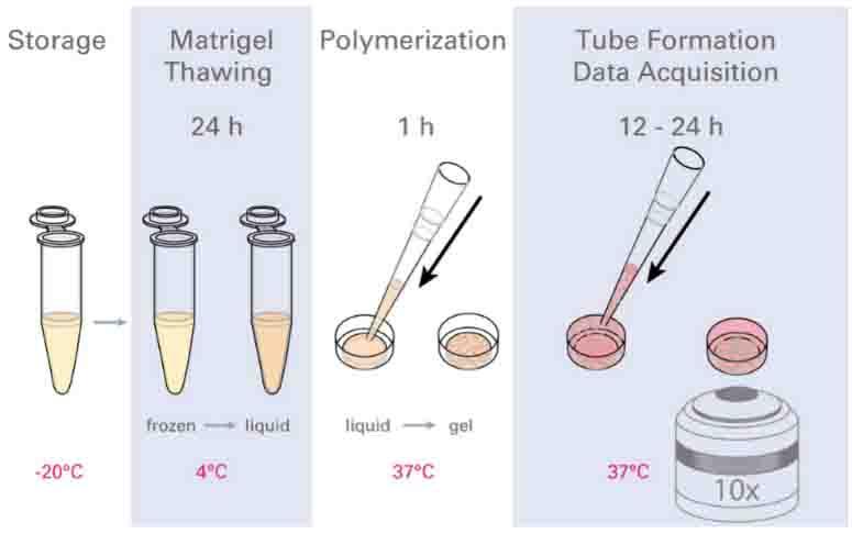 血管生成实验步骤-实验方法完善版
