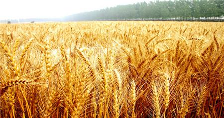 测诊断新技术助小麦精准施肥