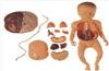 GD/A42008高级胎盘脐带与胎儿附内脏模型