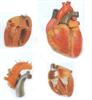 GD/A16006成人心脏解剖放大模型