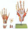 GD/A11307手肌附主要血管神经模型
