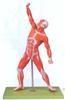 GD/A11303人体全身肌肉运动模型