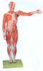 GD/A11302/1人体全身肌肉解剖模型(缩小模型)