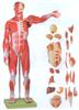 GD/A11301/2人体全身肌肉附内脏模型(自然大)