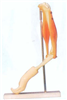 GD/A11210肘关节与肌肉示教模型