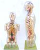 GD/A10005透明半身躯干附血管神经模型