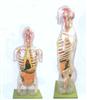 GD/A10004透明半身躯干附内脏模型
