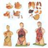 GD/A10002男性、女性外两性互换人体头颈躯干模型